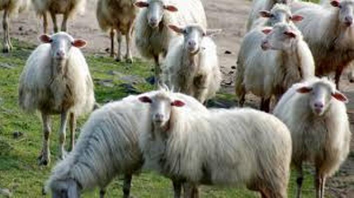 """AGRICOLTURA, l'Agea raddoppia il contributo per le pecore a """"fine carriera"""""""