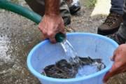 OGLIASTRA,Operazioni di ripopolamento dell'anguilla nel rio Pramaera e nel rio Ulassai