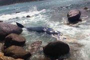 CASTIADAS, Carcassa di balenottero a Cala Pira