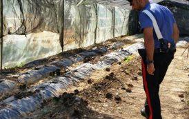 ASSEMINI, Arrestata una coppia che coltivava 100 piante di marijuana