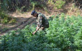OLIENA, Coltivava 500 piante di cannabis: arrestato operaio forestale olianese