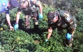 OLIENA, Sequestrate 400 piante di marijuana: arrestato un disoccupato 25enne