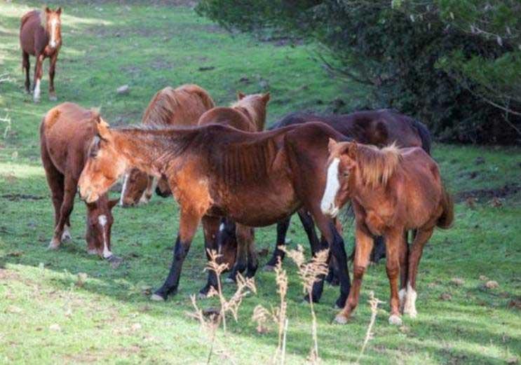 cavalli_silius