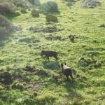 ORGOSOLO, Cinghiale abbattuto da cacciatori risulta positivo al parassita della Trichinella