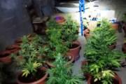 ARBUS, Fermato spacciatore a Torre dei Corsari, a casa una piantagione di marijuana: arrestati padre e figlio di Pabillonis