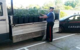 ELMAS, Scoperta piantagione in casa con 50 piante di marijuana: quattro arresti (VIDEO)