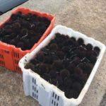 PESCA, Dopo le giornate di maltempo, pesca dei ricci prorogata fino al 1° maggio