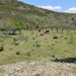 PESTE SUINA, Oltre il 75% dei maiali abbattuti ad Arzana, Desulo ed Orgosolo risultati positivi ai primi test