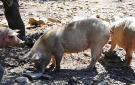 PESTE SUINA, Dopo i 36 a Sant'Andrea Frius, nuovi abbattimenti a Desulo: 59 maiali al pascolo brado non registrati