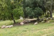 PESTE SUINA, Abbattuti 146 capi a pascolo brado illegale a Villagrande Strisaili e Talana