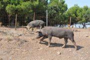 I maiali ad Urzulei: micro recinti dove non si può fare economia (Il Giardiniere)