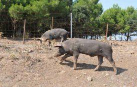 PESTE SUINA, Scoperto focolaio a Seui: due maiali morti, due da abbattere. Revocate misure protezione a Talana