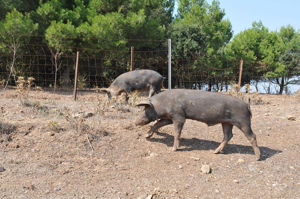 PESTE SUINA, Abbattuti 14 maiali ad Alà dei Sardi e 23 a Desulo