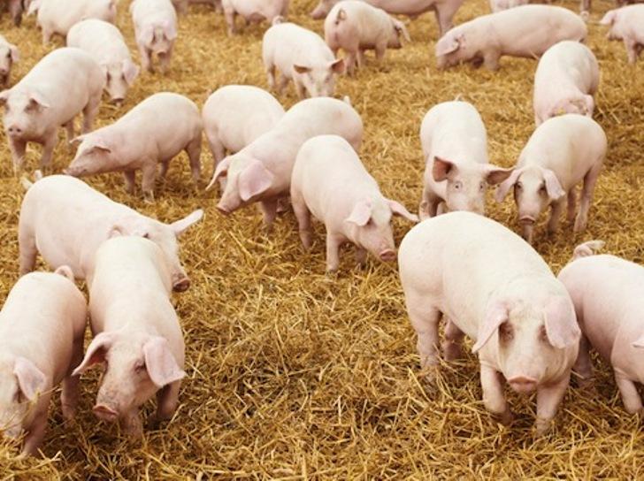 """EXPO 2015, Assessore Falchi contro blocco della movimentazione:  """"Porcetto sardo termizzato non sia Cenerentola delle carni mondiali"""""""
