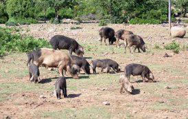 PESTE SUINA. Abbattuti 62 maiali al pascolo brado illegale a Villagrande Strisaili e Talana