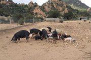 PESTE SUINA, In Sardegna delegazione dell'Unione europea per valutare lotta alla Psa