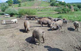 """PESTE SUINA, Focolaio ad Aritzo: abbattuti tre maiali. Zaia (Lega): """"In Veneto non vengono incappucciati ad ammazzare i maiali"""""""