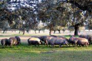 PESTE SUINA, Intervento a Villagrande Strisaili: abbattuti altri 60 maiali al pascolo brado