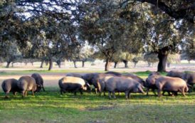PESTE SUINA, Altri abbattimenti di maiali al pascolo brado a Desulo ed Orgosolo