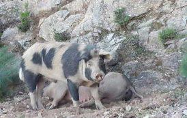 Peste suina: trovare strada per evitare abbattimento dei suini autoctoni sani (Copagri Sardegna)