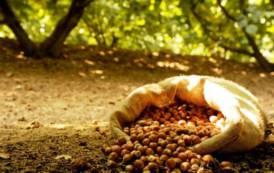 Progetto Ferrero: occasione per valorizzare la nocciola del Gennargentu (Daniele Maoddi)