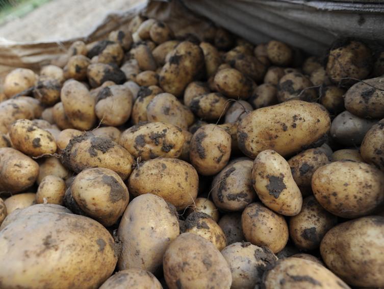 """AGRICOLTURA, Coldiretti: """"Valorizziamo le patate di montagna con un marchio di qualità"""""""