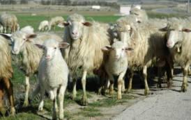 Inammissibili ritardi che rischiano di decretare la scomparsa della pastorizia sarda (Antonio Gaia)