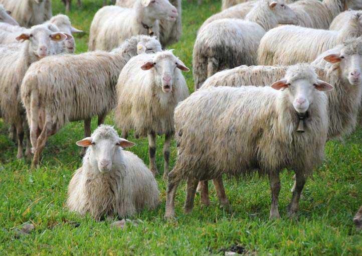 TIGELLIO, I pastori hanno scoperto il trucco della Giunta Pigliaru: il 31 ottobre tornano in piazza