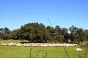 TERREMOTO, Sa Paradura: pastori sardi regalano mille pecore ai terremotati di Cascia