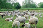 Assenza di piogge colpisce il mondo agro-pastorale sardo: allevatori nello sconforto (Salvatore Espa)