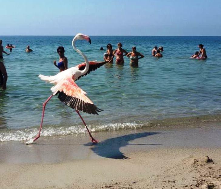 Capisco l'entusiasmo per i fenicotteri in riva al mare, ma erano esemplari in difficoltà (Luca Pinna)