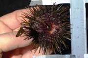 OLBIA, Sanzionato pescatore abusivo di ricci: molti esemplari erano sottomisura