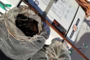 CAGLIARI, Sanzionati due pescatori abusivi di ricci di mare: sequestrati 500 esemplari