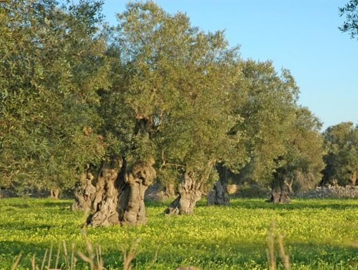 AGRICOLTURA, Chiesto un piano di emergenza per contrastare la diffusione del batterio 'Xylella fastidiosa'