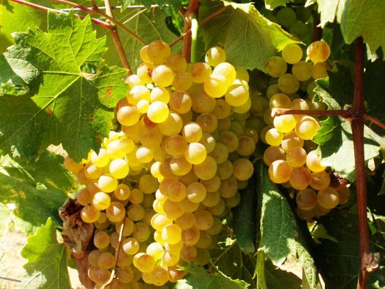 Un pasticcio per le certificazioni danneggia migliaia di vitivinicoltori sardi (Romano Satolli)