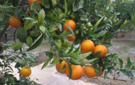 """SARRABUS, Riconoscimento nazionale per l'arancio """"tardivo"""", la """"sapa"""" e il """"Binu de arangiu"""""""
