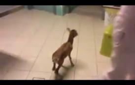 Cresce la cucciola di muflone trovata nei monti di Seneghe