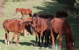 Le IMMAGINI dei cavalli bradi di Silius