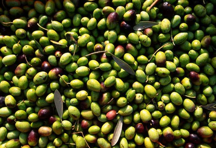 """AGRICOLTURA, Coldiretti: """"Per il comparto olivicolo-oleario serve politica di insieme. Riconoscimento Dop trasformato in onere"""""""