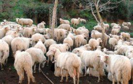 """PASTORIZIA, Gaia (Upc): """"Perchè l'agnello sardo arriva al consumatore senza le orecchie?"""""""