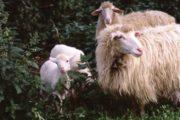 IL GIARDINIERE, Lo scandalo degli agnelli sardi: una giungla di speculazioni incrociate