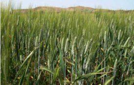 AGRICOLTURA, Aziende 'ostaggio' dei disservizi del Consorzio di bonifica della Sardegna meridionale