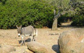 LOTZORAI, Confermato il caso di 'febbre del Nilo' dopo l'esame sull'asino deceduto in allevamento