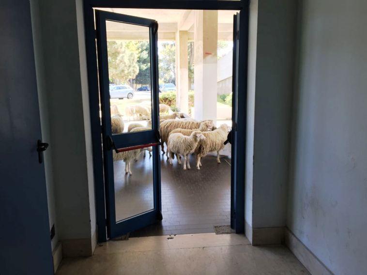brotzu_pecore
