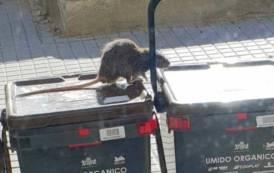 CAGLIARI, Gli 'effetti collaterali' del 'porta a porta' si fanno notare: topi a passeggio sui mastelli