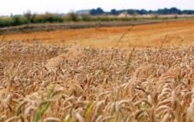 AGRICOLTURA, Cerealicoltura: crolla prezzo del grano e crescono importazioni in Italia di cereali, semi oleosi e farine proteiche