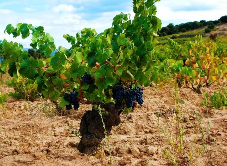 MEDICINA, Ricercatori dell'Università di Cagliari ottengono da scarti dell'uva Cannonau un prodotto benefico per organismo umano