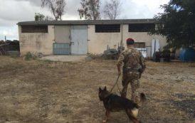 BORORE, Cinque arresti in un ovile per droga e armi