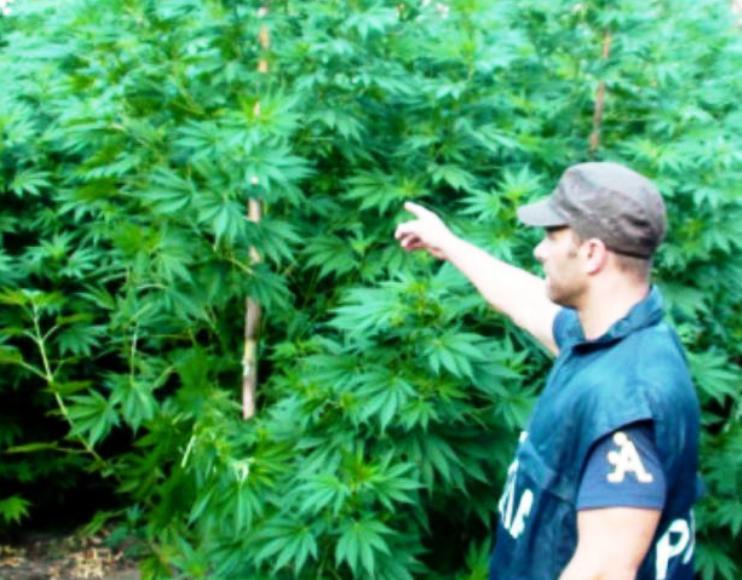 ORUNE, Allevatore arrestato, coltivava 2.000 piante di marijuana vicino all'ovile