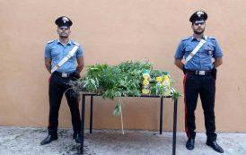 ORGOSOLO, Coltivavano 23 piante di canapa: arrestati due allevatori